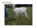 Goatling AOV 1st Place Cossin Whyso-page-001 (1)
