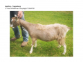 Goatling T 3rd Place Wilowriver Yazzybright
