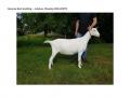 Reserve Best Goatling - Ashdene Minskip