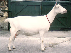 Saanen - British Goat Society