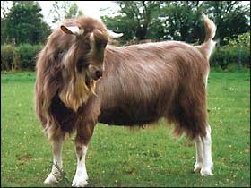 Breeding - British Goat Society